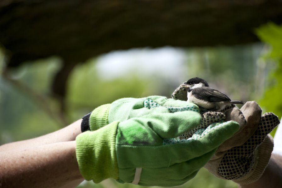TWEED, On. (06/09/11) David and Jane Baker rescue a black headed chickadee from a fallen tree on their property. Photo by Ashliegh Gehl.