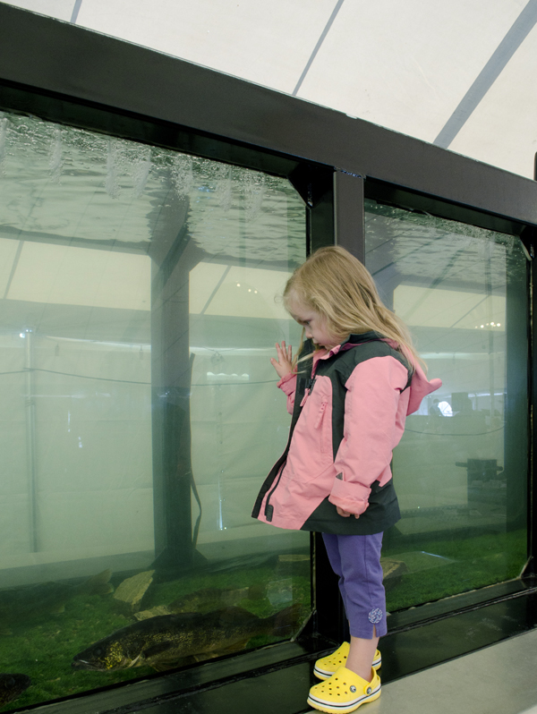 The 50 foot long fish tank set up under the big tent in Centennial Park was a huge hit with children. Three year old Chloe Bronden watched the walleye swim by. Photo: Gail Paquette