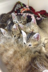 BELLEVILLE, Ont (10/21/2013) Kittens up for adoption at the Quinte Humane Society.