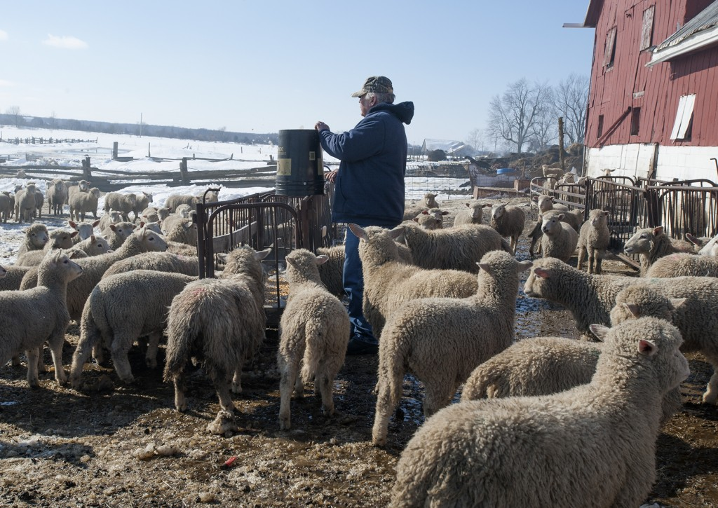 PRINCE EDWARD COUNTY – Chris Byford feeds five-month-old lambs, motherless because of the fire that killed more than 200 of his sheep. Photo by Justin Greaves, Loyalist Photojournalism