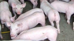 There is no known treatment if pigs become infected with porcine