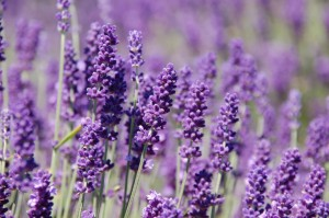 Lavender flowers take over the country side of Hillier Ont.  Source: tripsetter.com