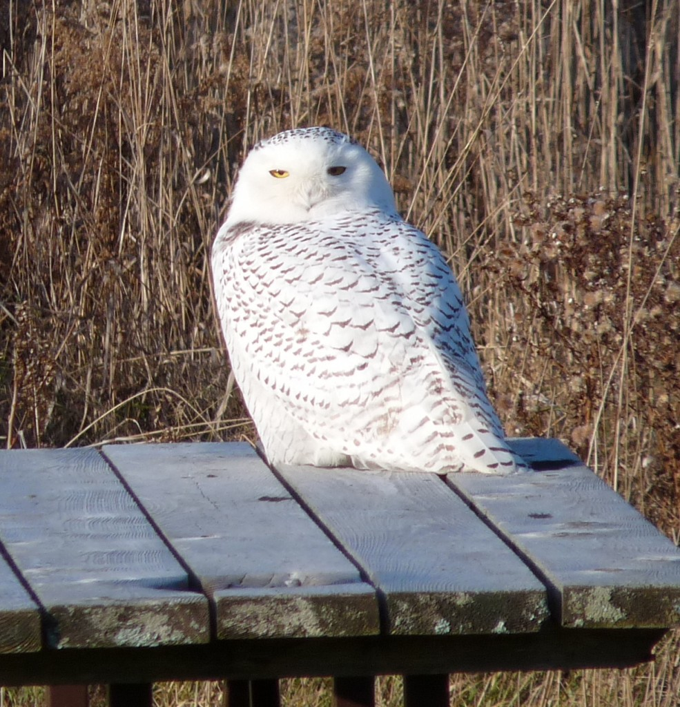 A Snowy Owl perched upon a picnic table at Presqu'ile Park in Brighton. Photo by David Bree