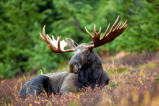 640px-Male_Moose