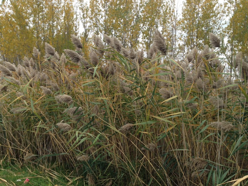 The invasive Phragmites has been added to the provincial government's list banning damaging species from Ontario. Photo by Charlotte McParland, QNet News